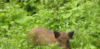 pig-wild-pork-hidden