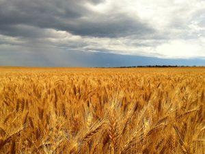 wheet crop