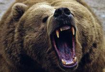 animal Bear
